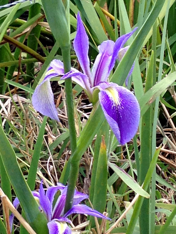 !iris-hexagona