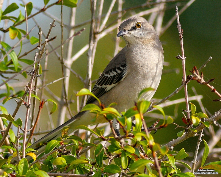 mockingbird copy