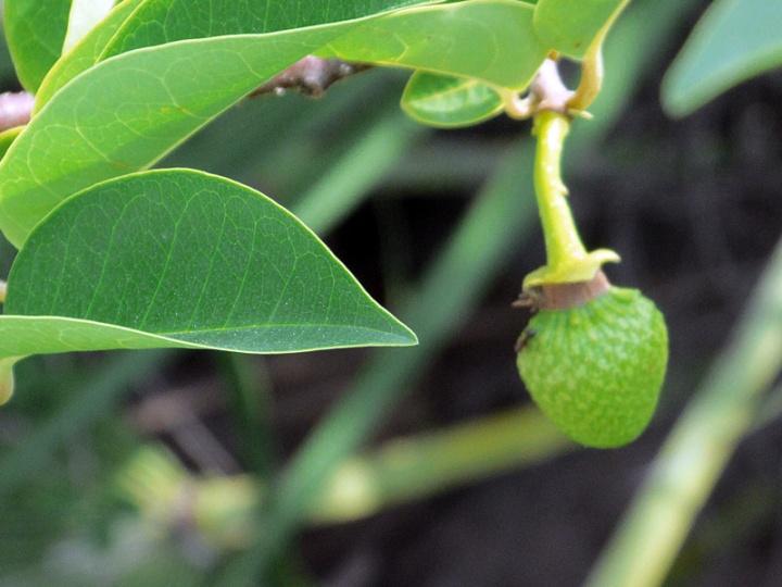 !tiny-annona-glabra-fruit