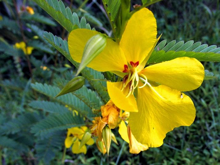 !chamaecrista-fasiculata-flower