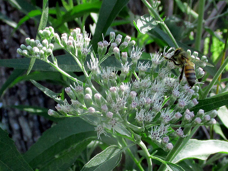 !eupatorium-serotinum-w-bee