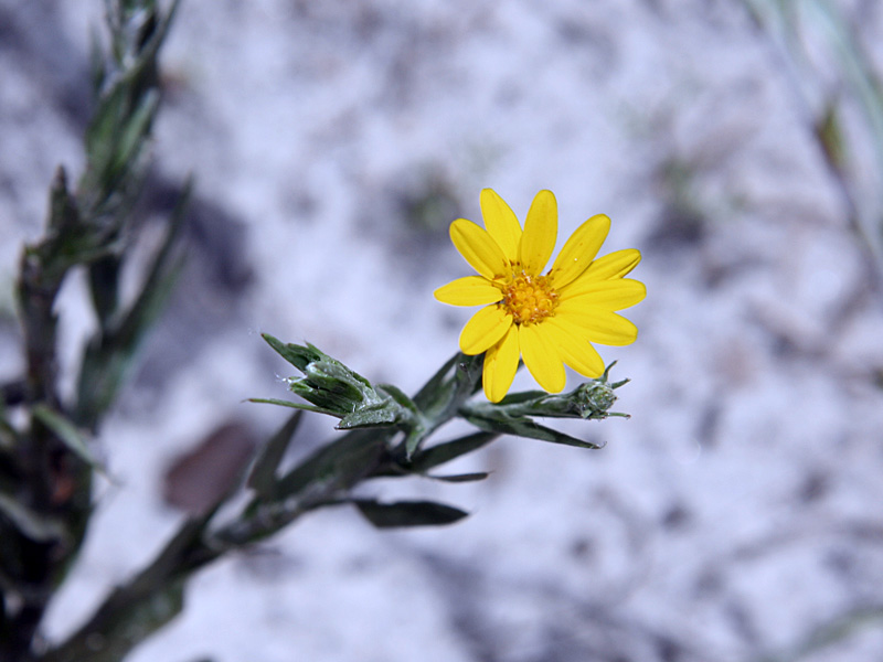 !pityoopsis-graminifolia-flower