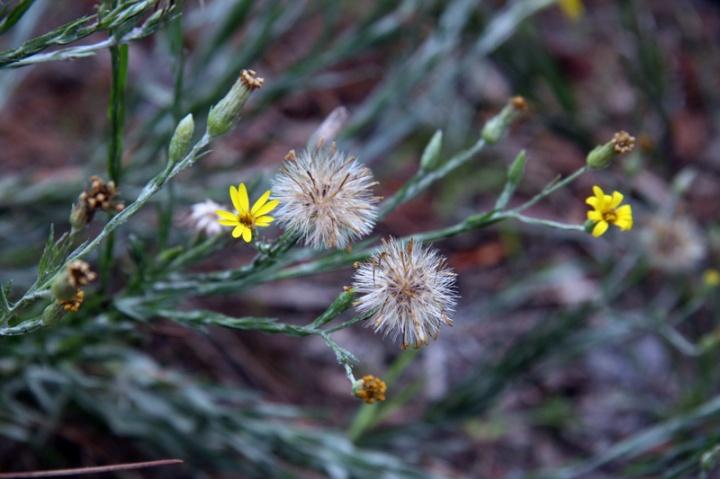 !pityopsis-grminifolia