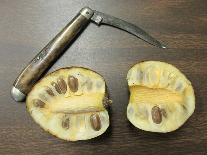 !annona-glabra---cut-fruit-clinical-view