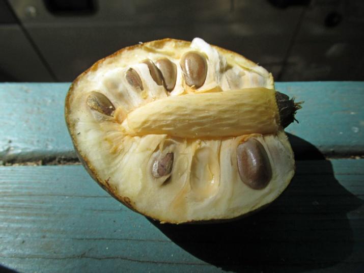 !annona-glabra---half-fruit