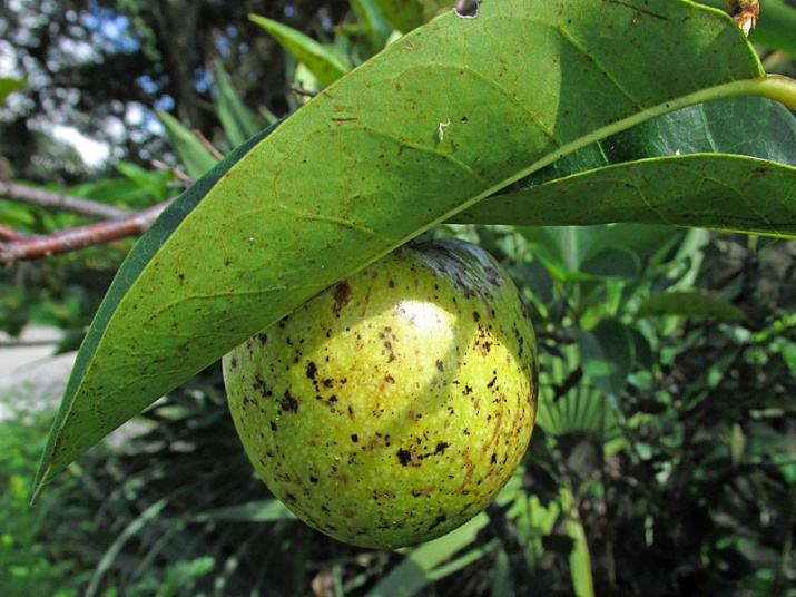 !annona-glabra---ripe-fruit-on-tree