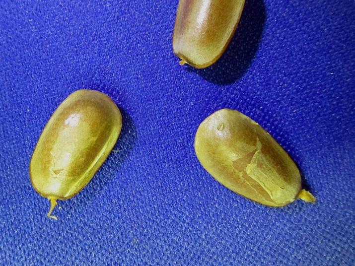 !annona-glabra-seeds