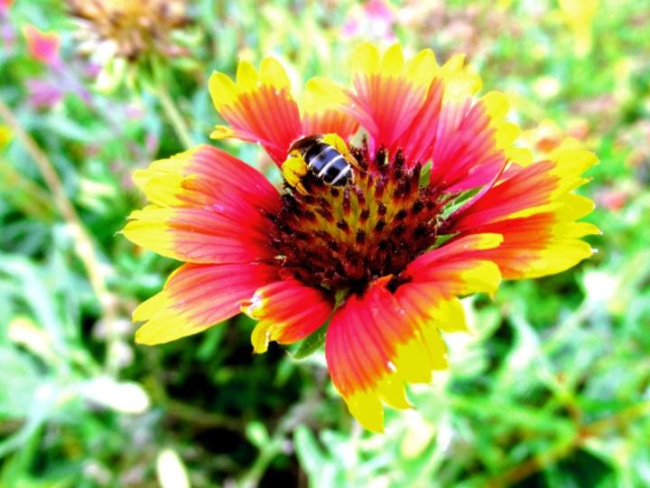 !gaillardia-w-honeybee-&-pollen-sacs