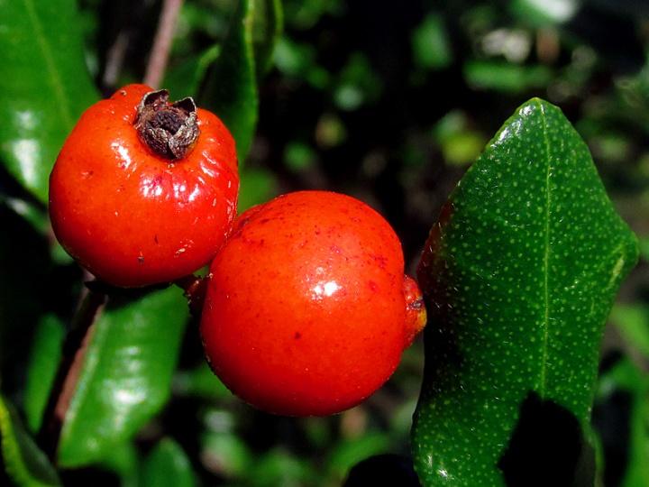 !myrcinathes-fragrans-fruit