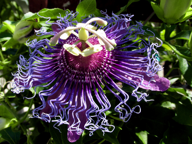 !passiflora-incarnata-flower