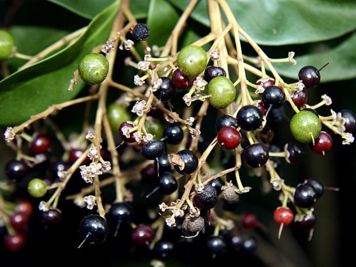 !!ardisia-escall-rip-&-unripe-fruits