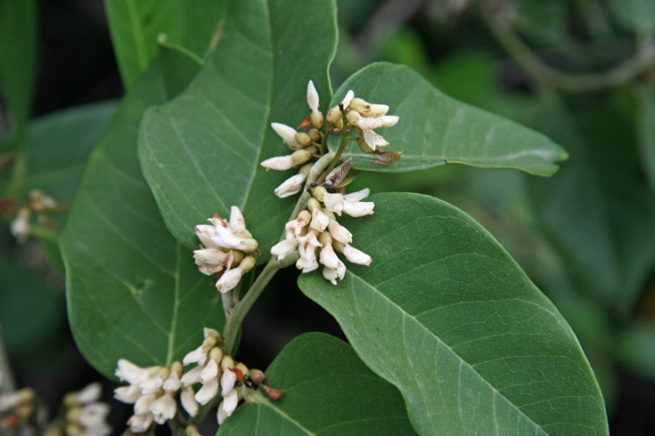 !!dahlbergia-ecastophyllum