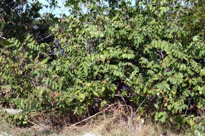 !!dalhlbergia-ecastophylllum-(2)