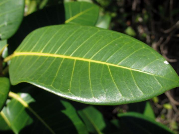 !ficus-aureum-leaf