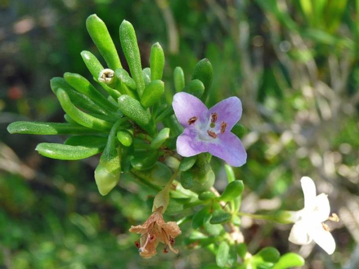 !lycium-carolinanum-flower-from-Nancy-Soucy-@-trwt