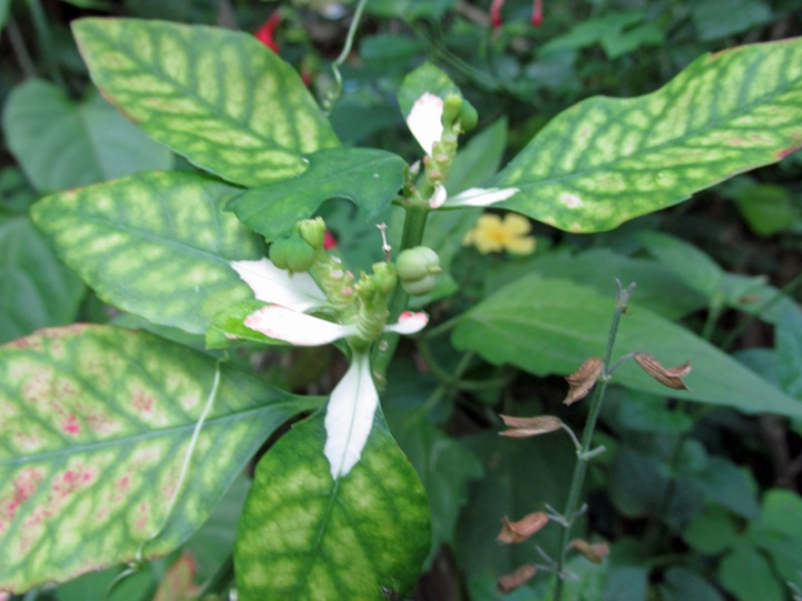 !poinsettia-heterophylla-w-white-bracts