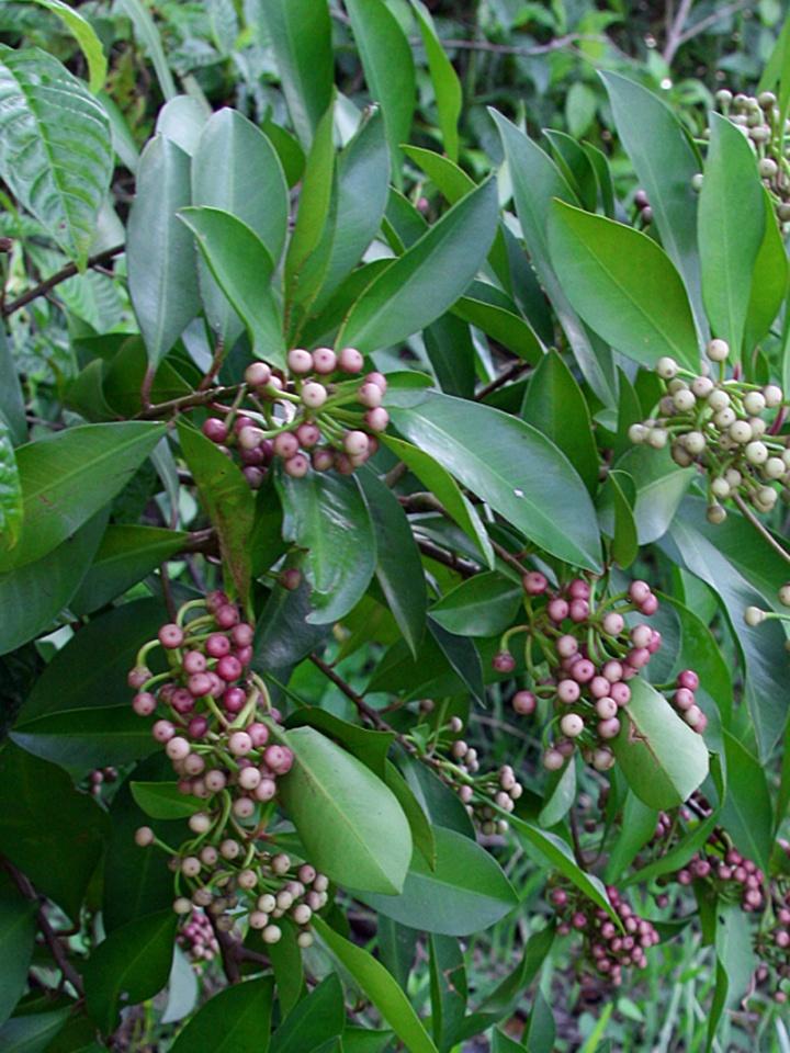 !!ardisia-elliptica-w-ripe-&-unripe-fruits
