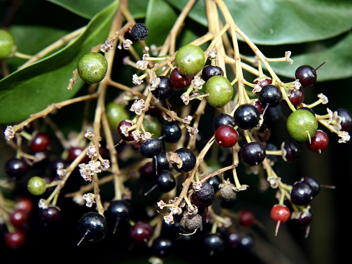 !!ardisia-escall-rip-&-unripe-fruits