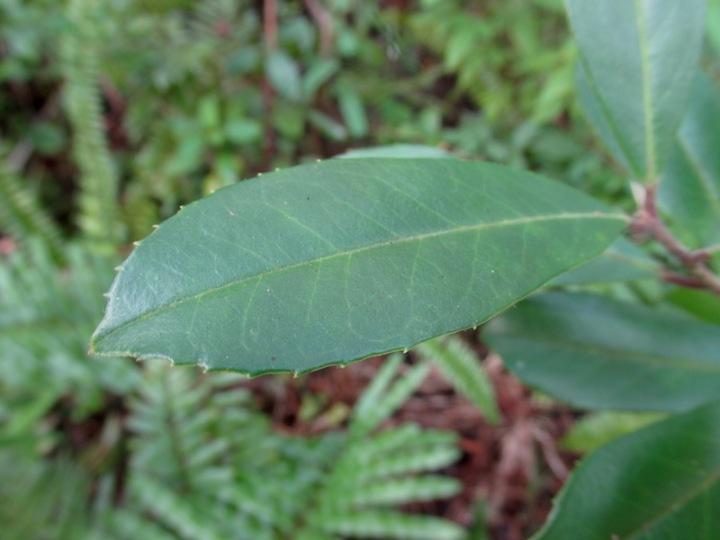 !ilex cassine leaf copy