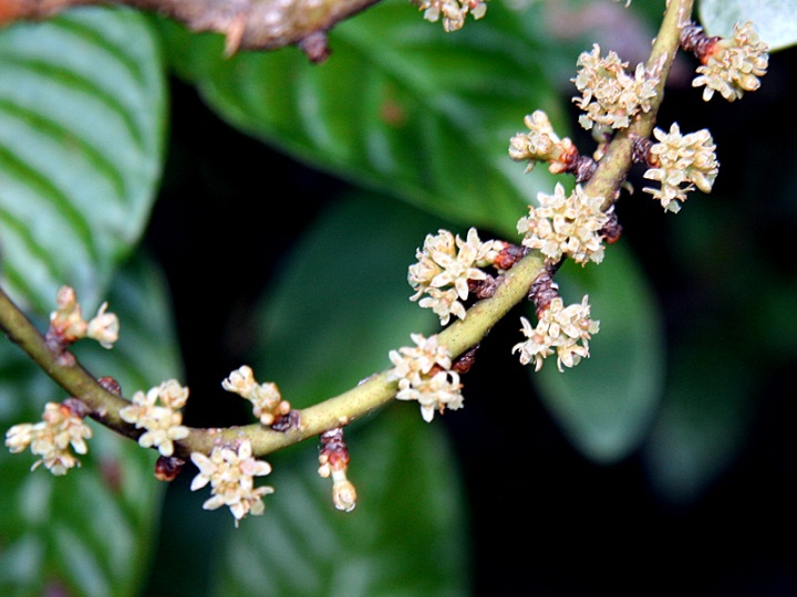 !!myrsine-cubana-flowers