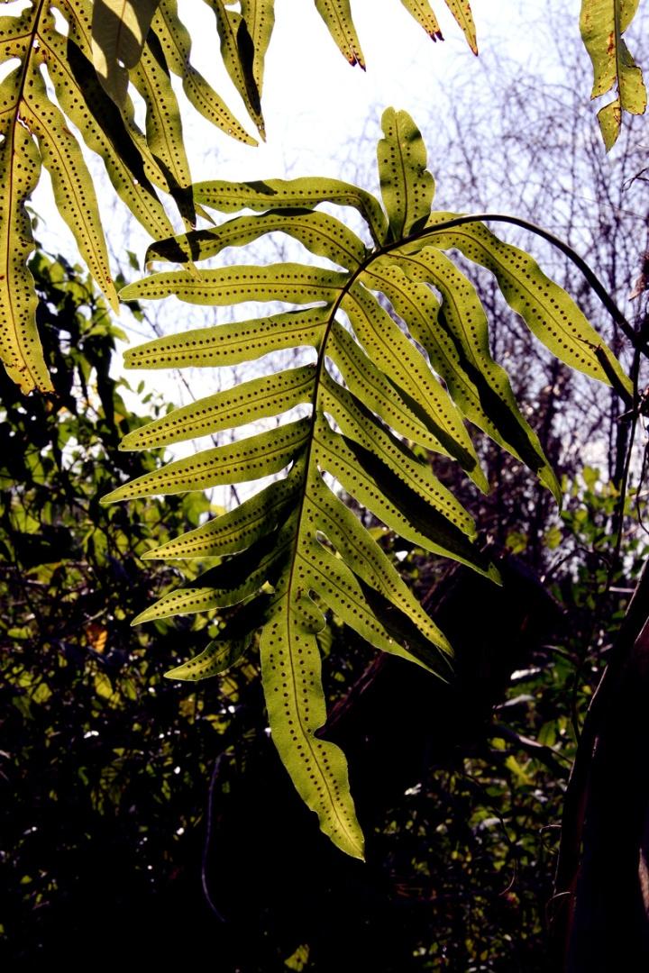!!phlebodium-aureum-w-spores