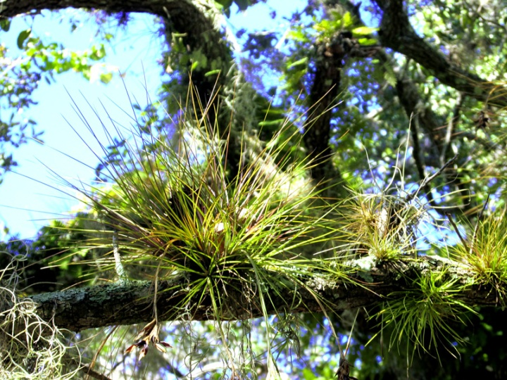 !!tillandsia-seatacea