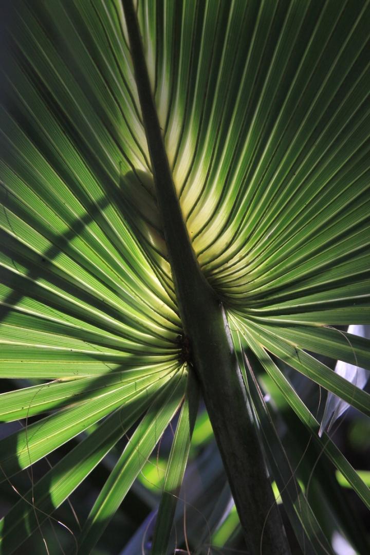 !!sabal palmetto leaf by karen schuster copy