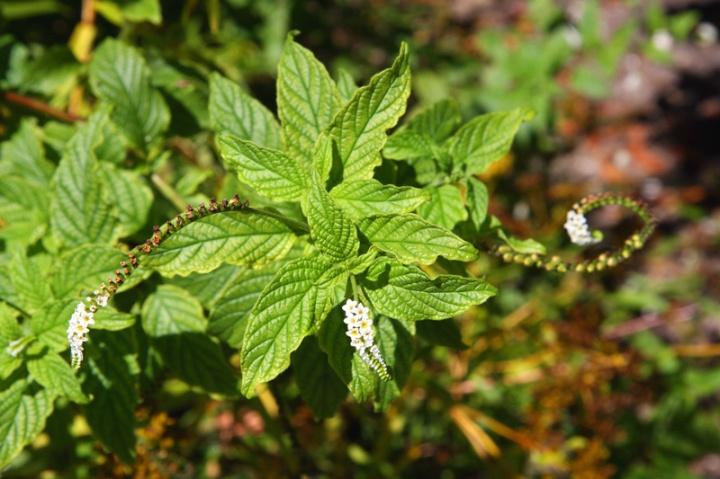 !!!!!heliotropium-angiospermum-(3)