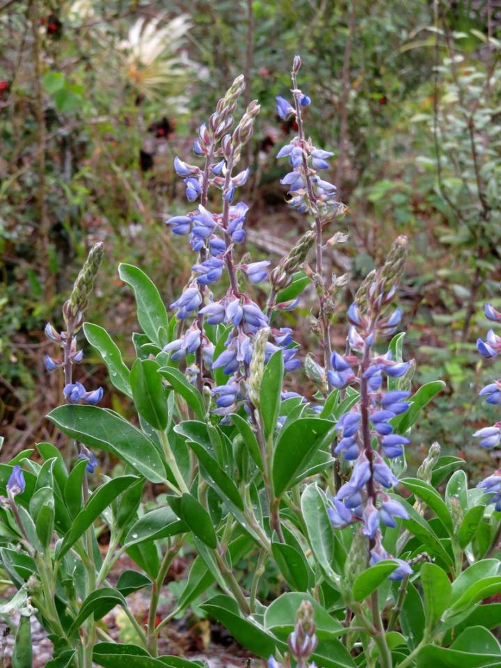 !!lupinus-diffusus-flowers