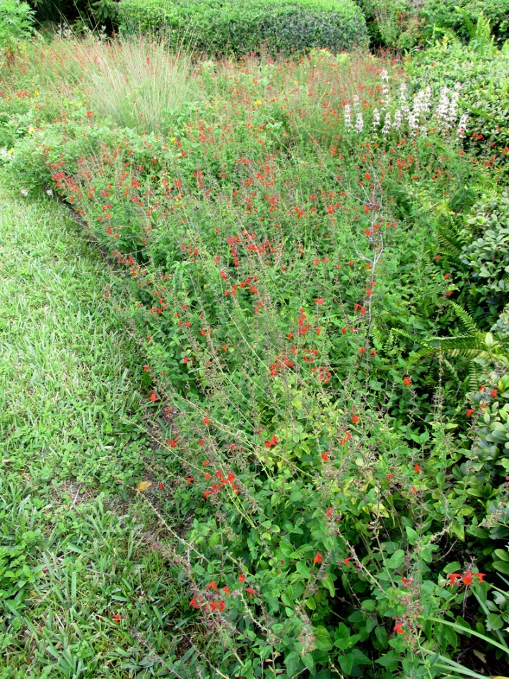 !!!!salvia-coccinea-&-monarda-@-willoughby6