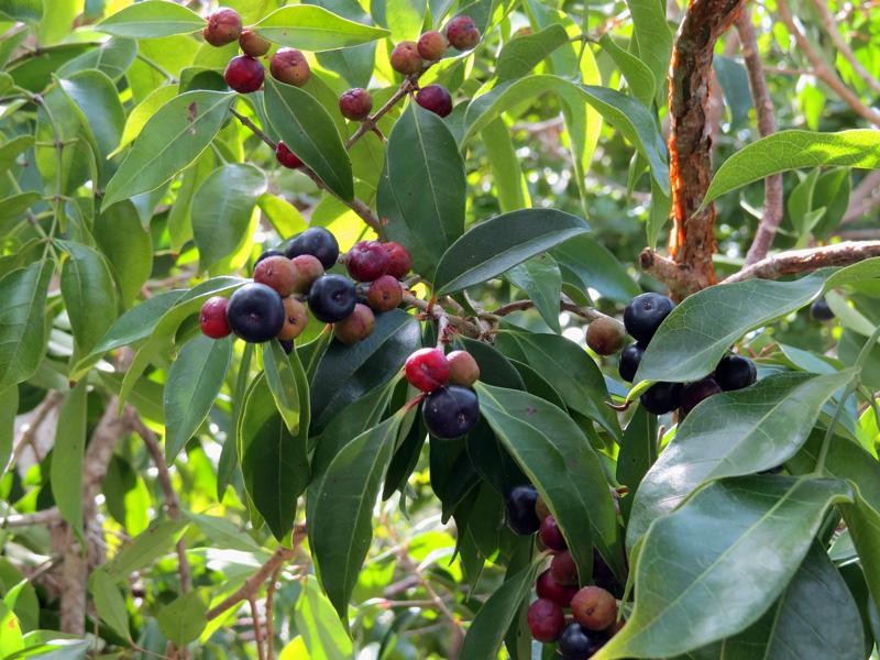 !!eugenia-axillaris-fruit