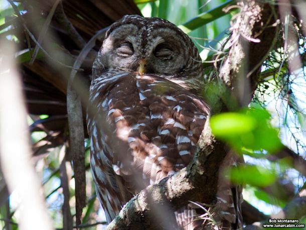 sebastian_barred_owls_150404_2