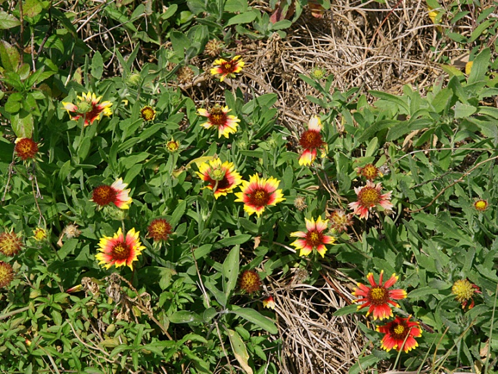 !!!!gaillardia-2-colors