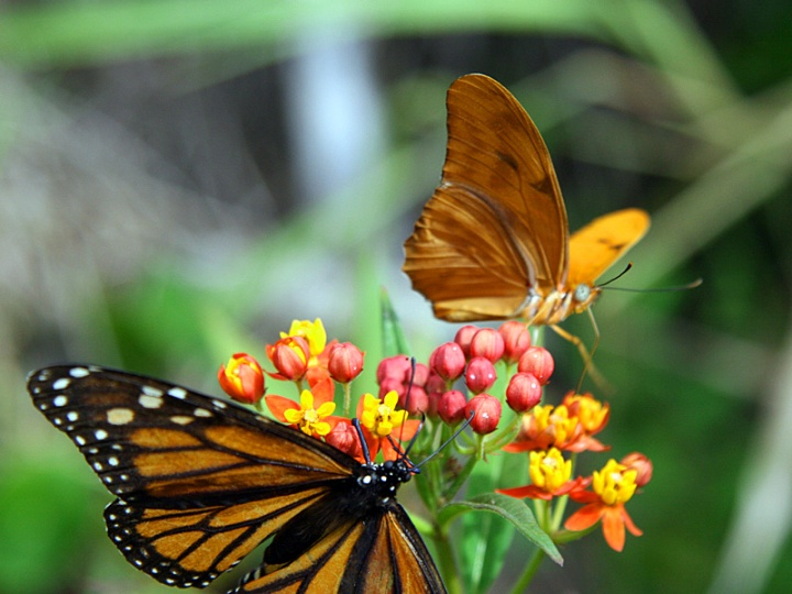!!!!julia-w-monarch-on-milkweed