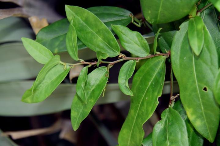 !!!!passiflora-suberosa-(2)