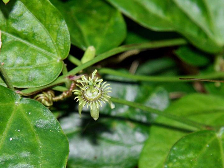 !!!!passiflorA-suberosa-flower