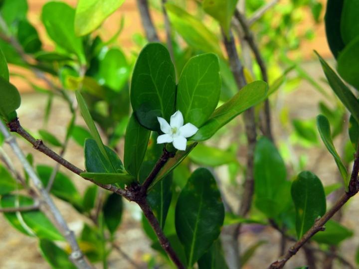 !!!!randia-aculeata-flower