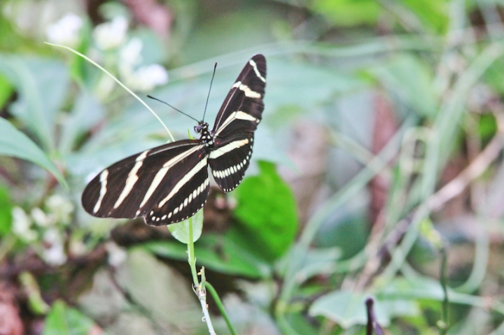 !!zebra longwing @ orca by karen schuster copy