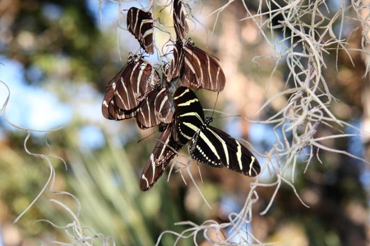 !!!!zebra-longwing-roosting-@-fmel-(9)