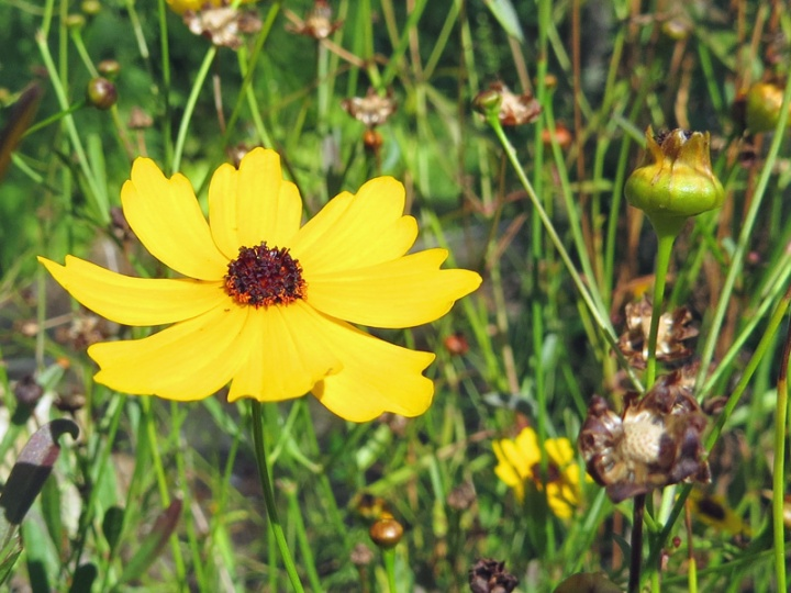 !!coreopsis-at-ah