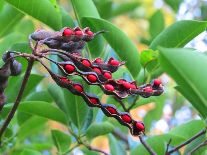!!!!erythrina-herbacaea-seeds---kendrick-yard-2015
