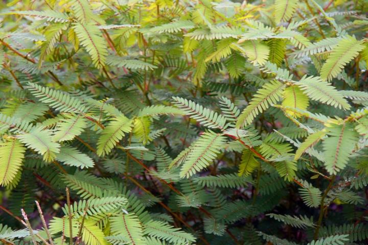 !!!!-just-foliage-chamaecrista-fasciculata-(15)