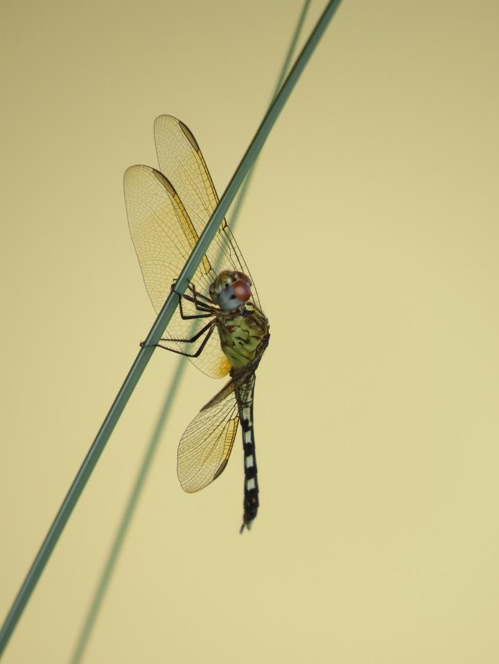 band-winged dragonlet4