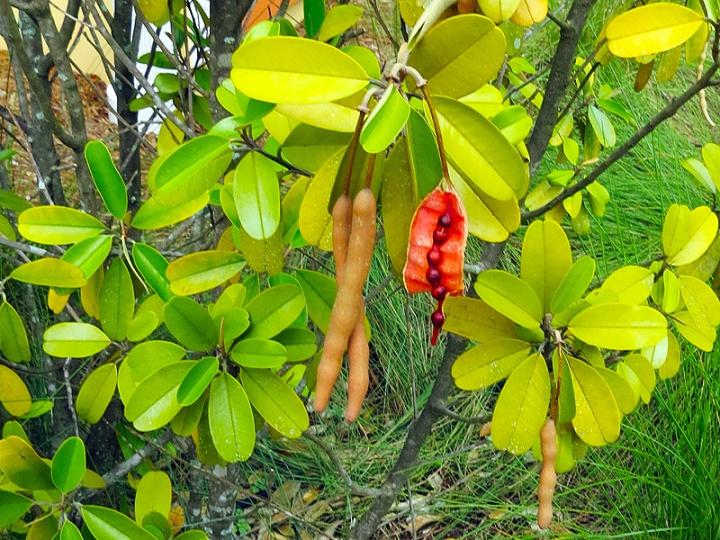!!!!capparis-jamaicensis-open-&-unopen-pod