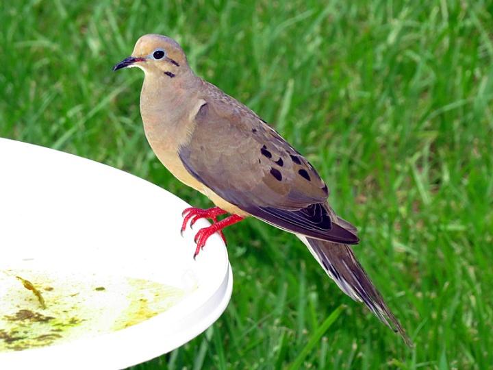 !!!!mounring-dove