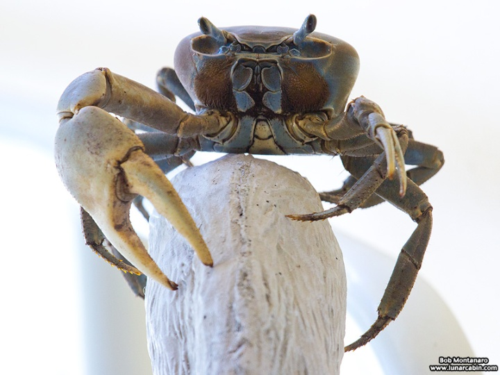 AH_land_crab_150831_6