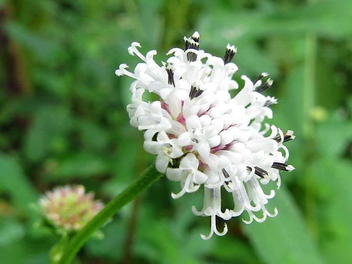 !!!!melanthera-nivea-flower