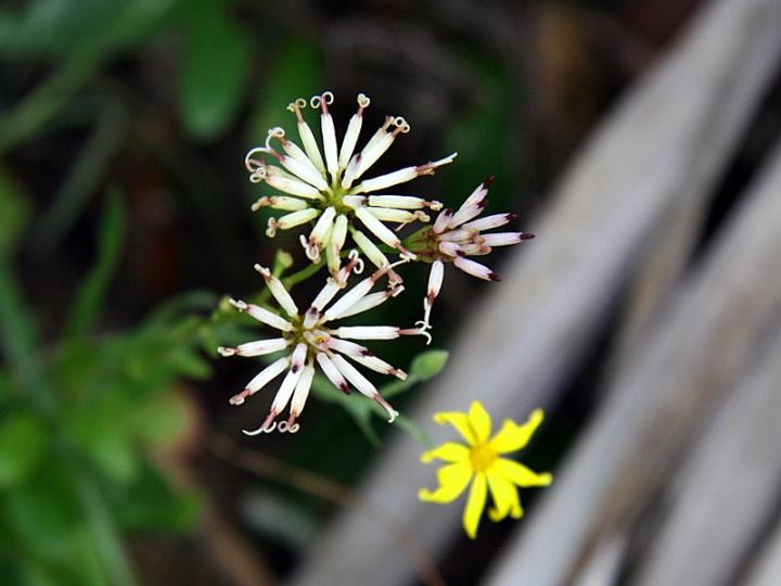 !!!!palafoxia-&-pityopsis-flowers