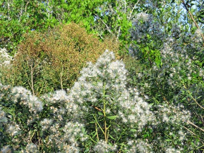 !!!!Baccharis-halimifolia---male-&-female