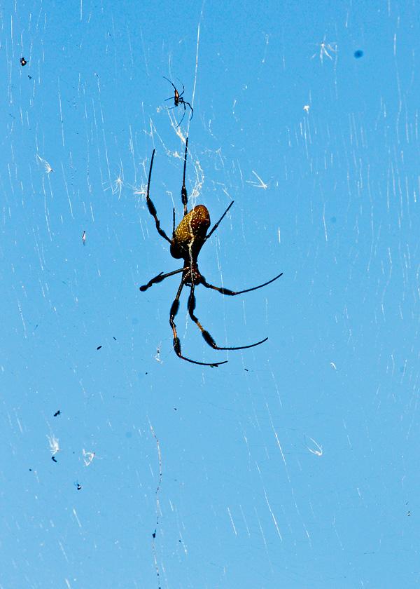 !!!!golden-orb-weaver---male-&-female-by-ks